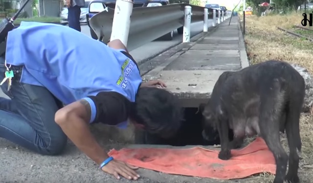 Mother Dog Watches Closely As A Police Officer Rescues Her Puppy Stuck In A Storm Drain