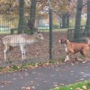 Boxer desperately wants to play with deer
