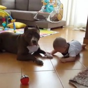 Baby practices to crawl around family's Pit Bull