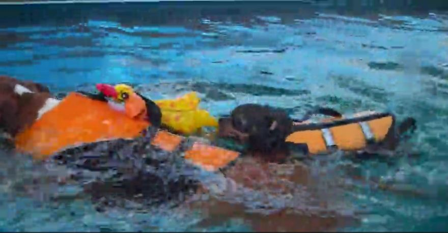 Pit Bull Terrier drags Chihuahua around in pool