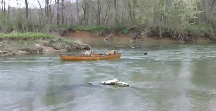 These Two Dogs Were Drifting Away In A Canoe, Until A Heroic Lab Saved Them