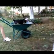 Dog loves to go for wheelbarrow rides