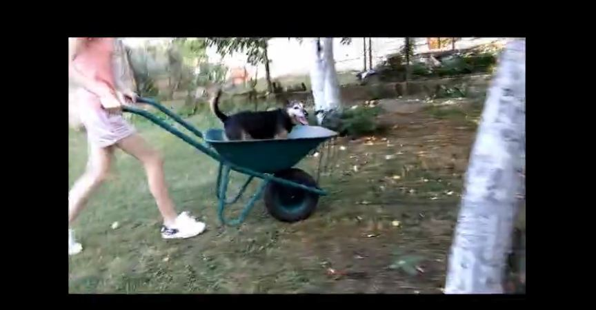Dog loves to go for wheelbarrow rides