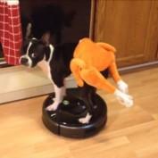 Boston Terrier rides Roomba in a turkey costume