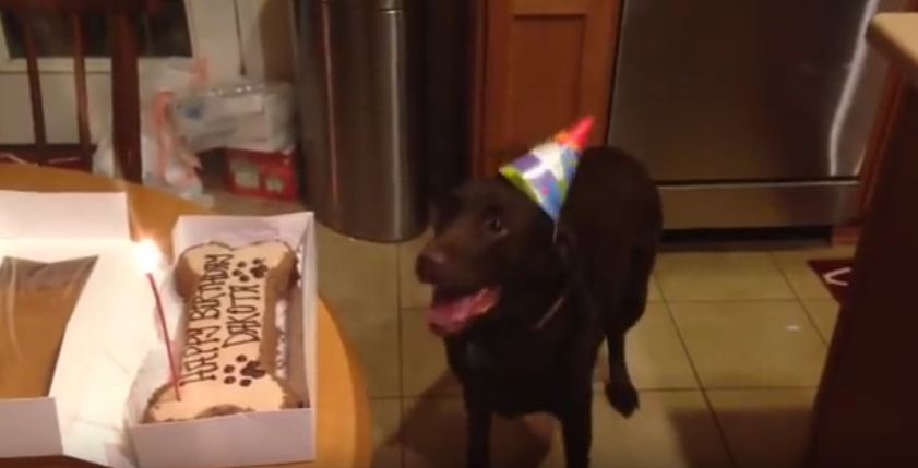 Dog Is So Excited About Her Birthday Cake, She's Jumping For Joy!