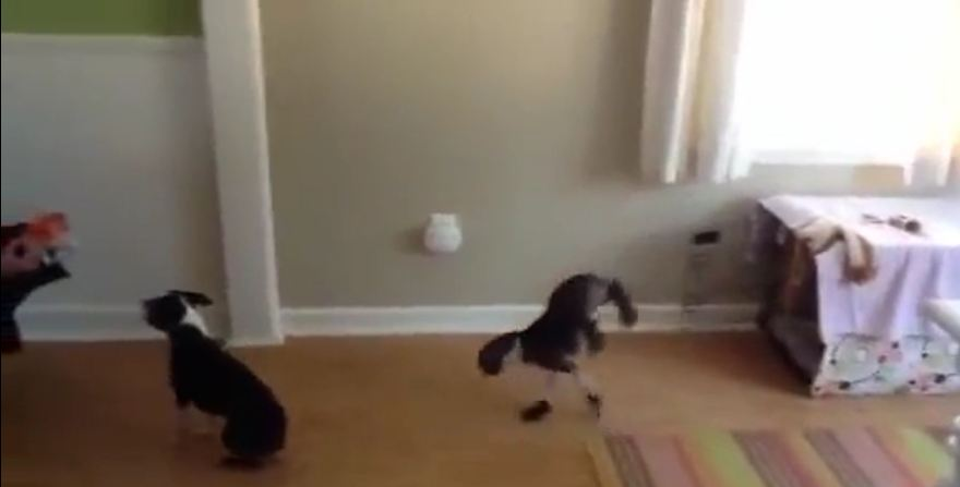 Dog decides to walk adorably on two legs
