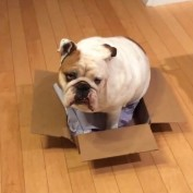 Determined Bulldog attempts to sit inside very small box