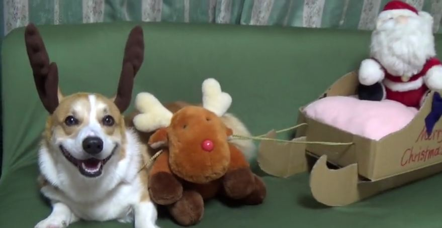 Happy reindeer corgi will warm your heart