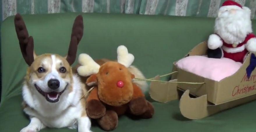 Happy reindeer corgi will warm your heart