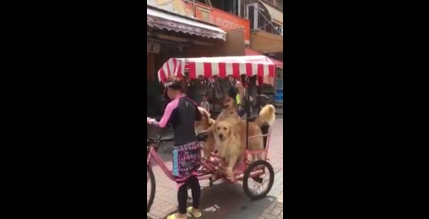 Three dogs casually enjoy a bike ride