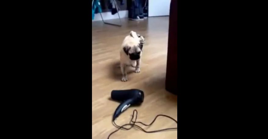 Pug puppy unsure about owner's hair dryer