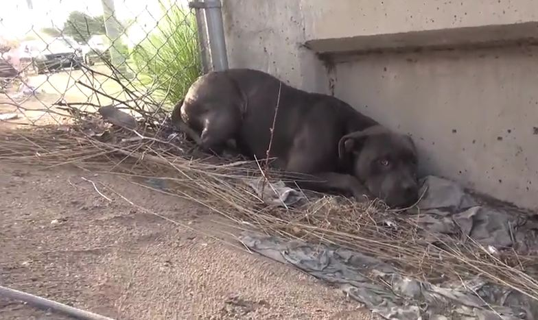 This Poor Pit Bull Lived Next To A Highway Before Rescuers Saved Him From Horror
