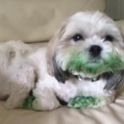 Dog Eats Entire Box of Green Food Coloring
