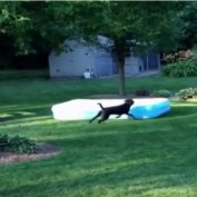 Dog Steals Kiddy Pool and Runs Away