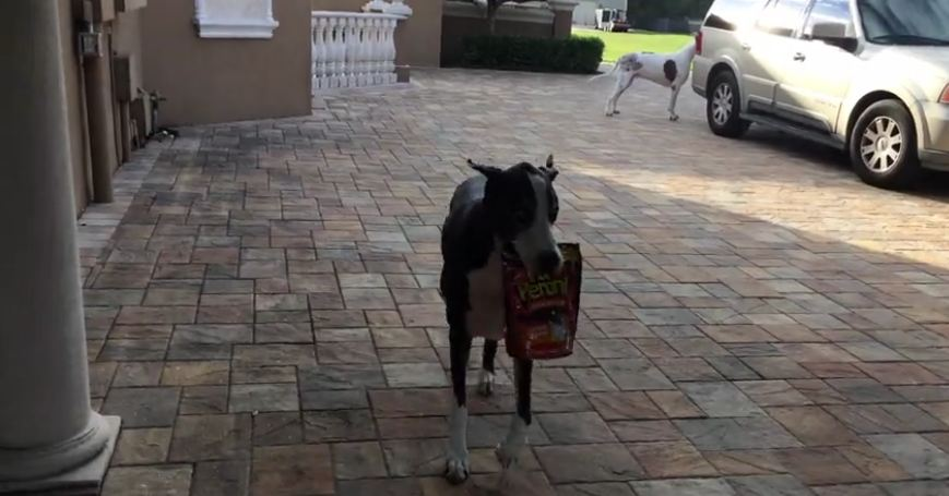 Helpful Great Danes bring in the groceries