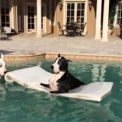 Great Danes enjoy a swim in the pool