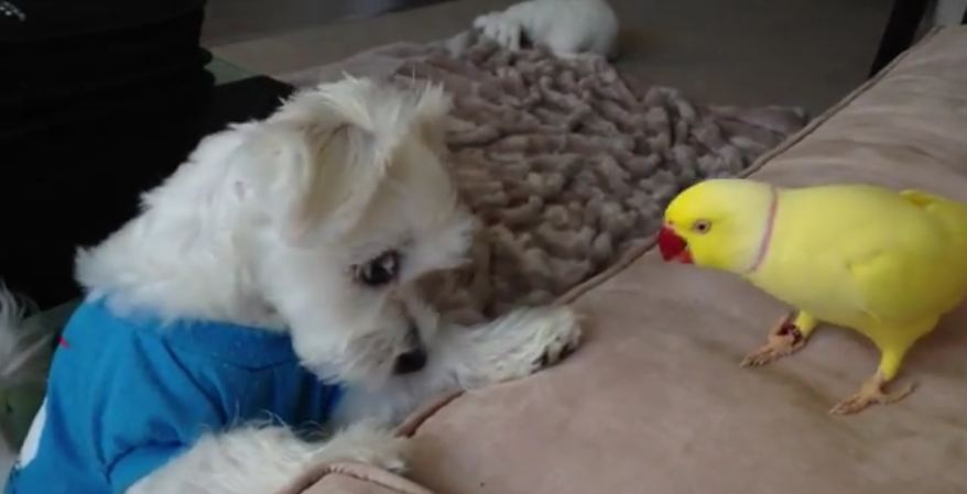 Parrot Competes With Dog For Owner's Lunch