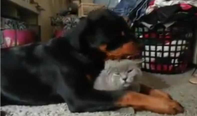 An Adorable Puppy Just Won't Stop Grooming His Kitty Friend. He Loves Him TOO MUCH.