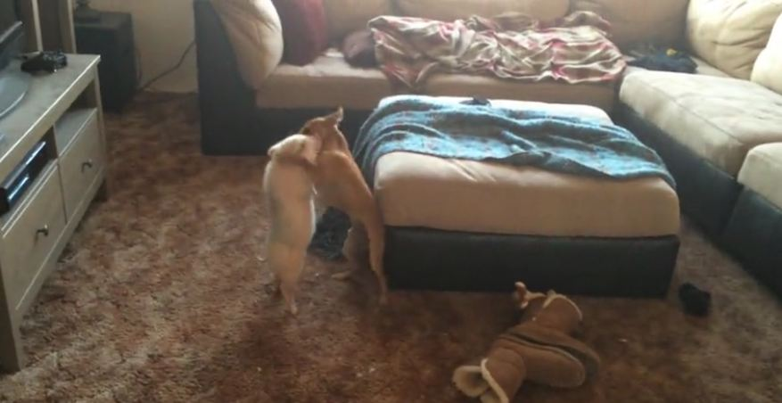 Amazing animal friendship between mini pig and dog