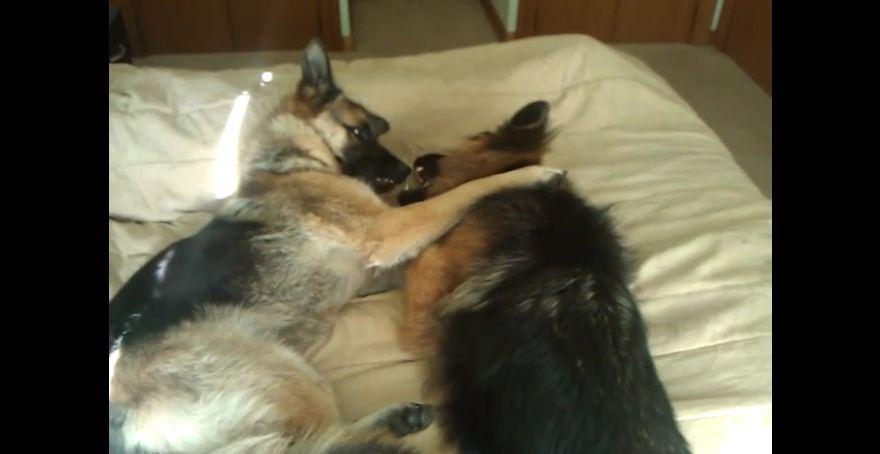 German Shepherd duo share amazing friendship