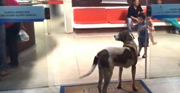 Dog Refuses To Leave Hospital Caring for Ailing Owner