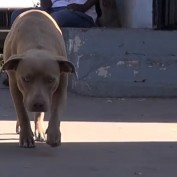 Mama Pit Bull Runs Toward Rescuers After Giving Birth To 7 Puppies Under House