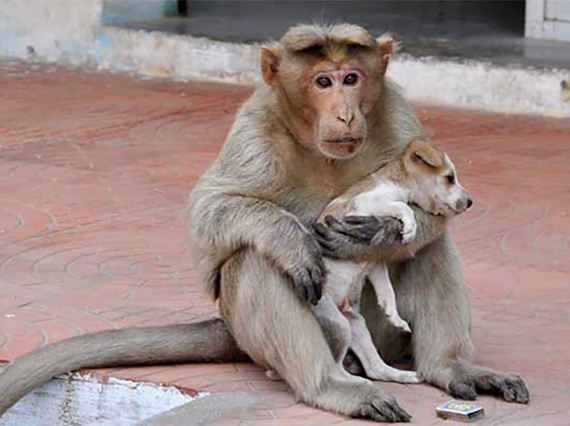 A monkey rescues a puppy and calls it her own
