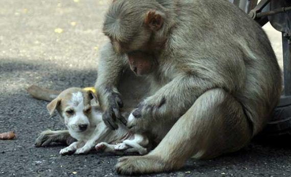 05-monkey-adopts-puppy