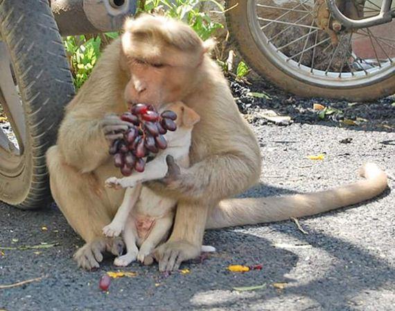 06-monkey-adopts-puppy