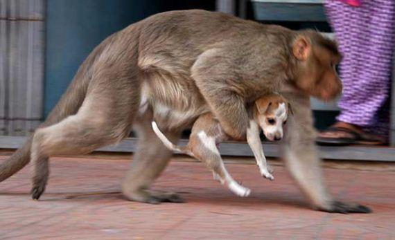 07-monkey-adopts-puppy