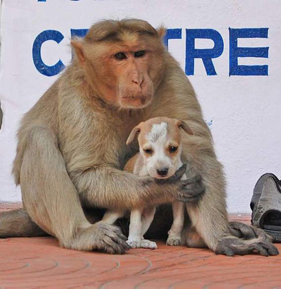09-monkey-adopts-puppy