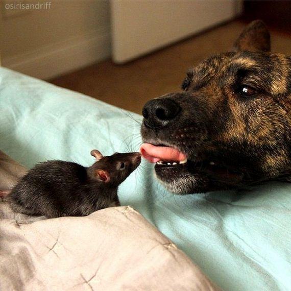 10-Dog-and-Rat