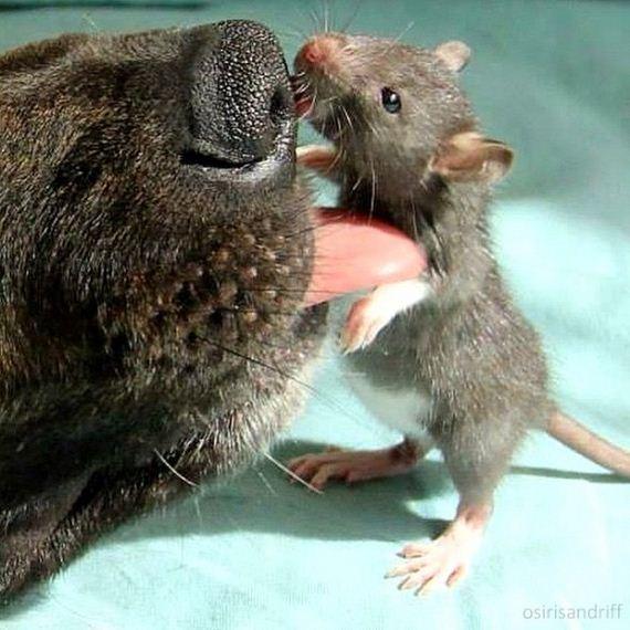 12-Dog-and-Rat