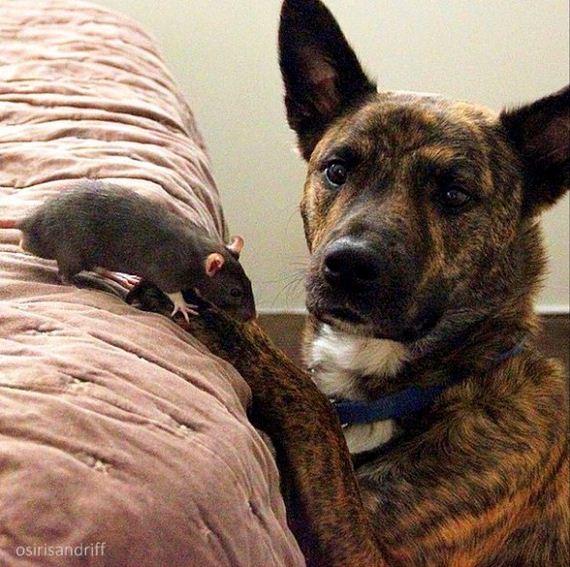 13-Dog-and-Rat