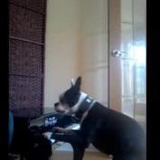 Boston Terrier dog plays the piano