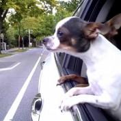 Dog enjoys car ride