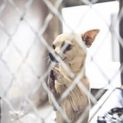 "Homeless Chihuahua Photographed ""Praying"" Gets Forever Home"