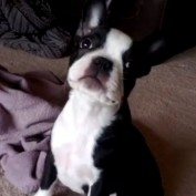 Boston Terrier puppy scared of her own fart!