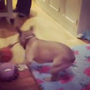 French Bulldog puppy loses it on new dog toy
