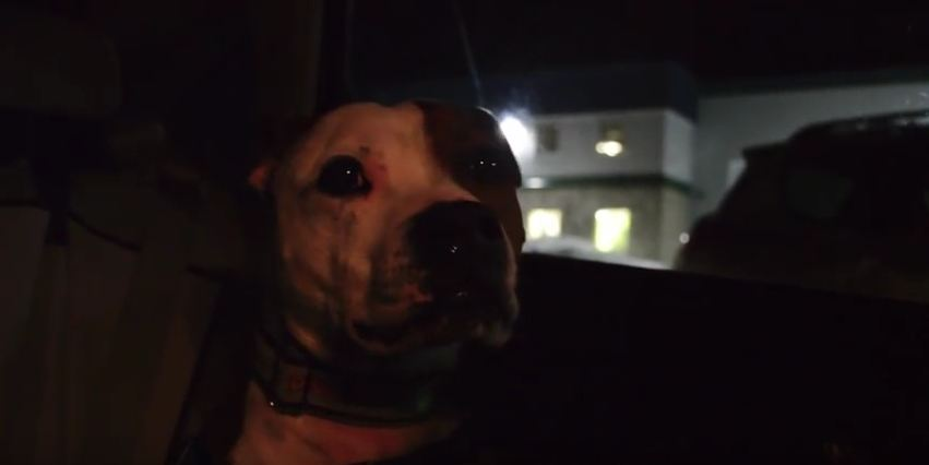 Super Excited Staffy Can't WAIT to Do a WEIGHT Pull