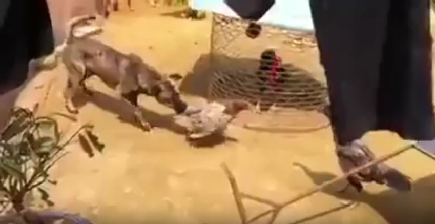 Nice Dog Tries His Very Best To Stop A Fight Between Two Feisty Roosters