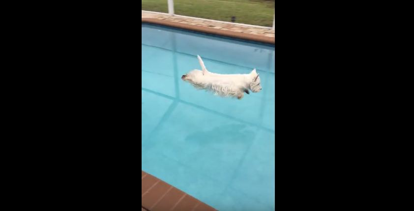 Watch This Dog Show Off Her Amazing Dive Form!