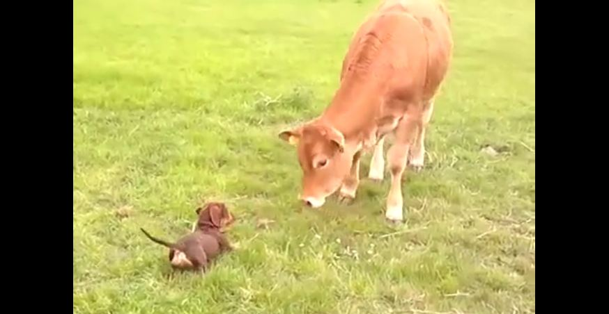 Puppy can't contain her happiness after meeting cow
