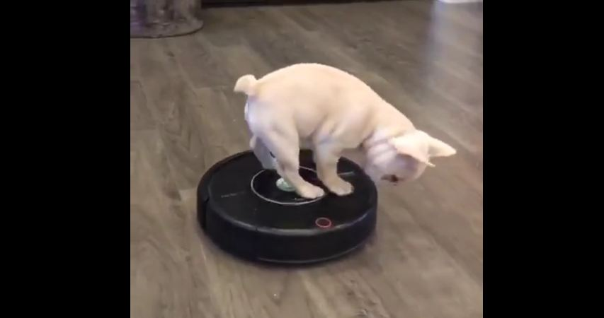 Roomba-riding Frenchie will brighten your day