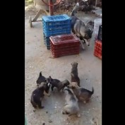 Puppies run behind their mother