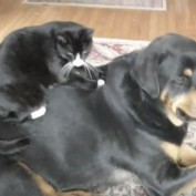 World's Bravest Cat (Cute Rottweiler and Cat)