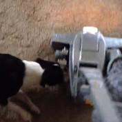 Boston Terrier attacks vacuum cleaner