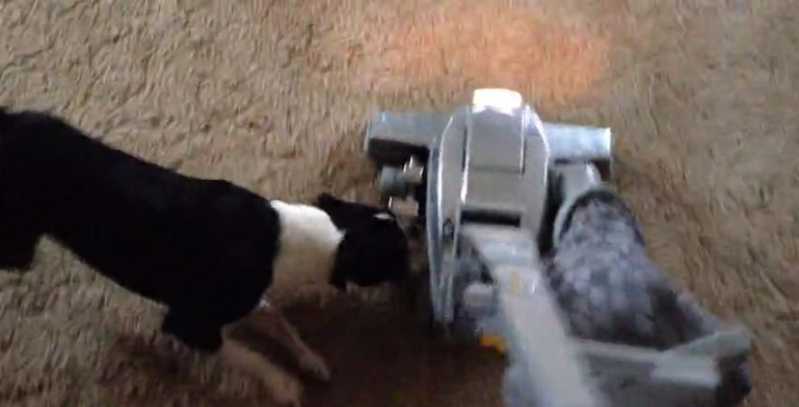 Boston Terrier attacks vacuum cleaner