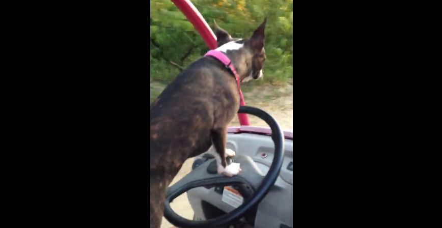 Boston Terrier demonstrates driving skills