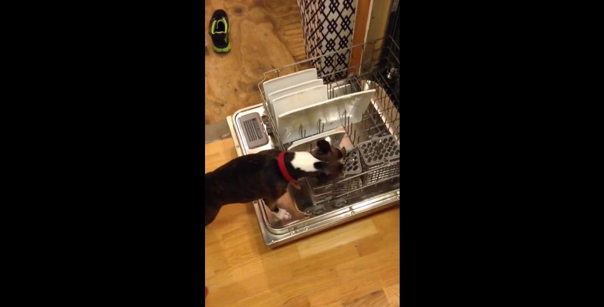 Boston Terrier caught cleaning the dishes